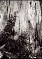 Harvey West Park Eucalyptus Trunk