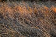 Chapaquiddick dry beach grasses